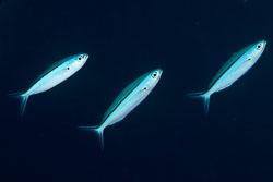 BD-150421-Maldives-7545-Pterocaesio-tile-(Cuvier.-1830)-[Dark-banded-fusilier].jpg
